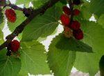Плод тутового дерева – Шелковица — Википедия